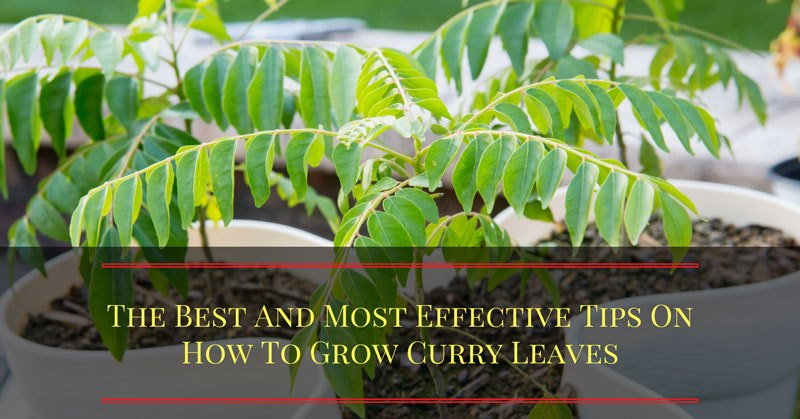 how-to-grow-curry-leaves