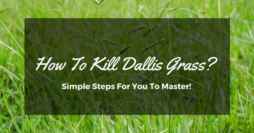 How To Kill Dallis Grass Simple Steps For You To Master
