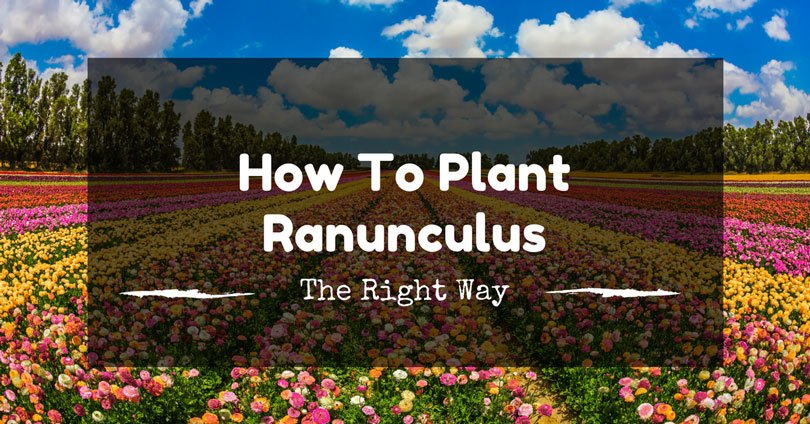 how-to-plant-ranunculus