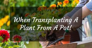 When Transplanting A Plant From A Pot To The Ground You Should