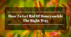 How To Get Rid Of Honeysuckle The Right Way