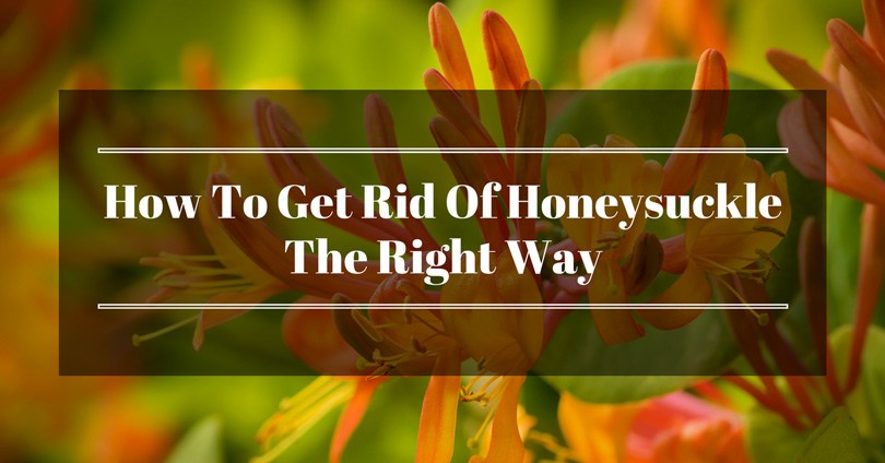 how to get rid of honeysuckle