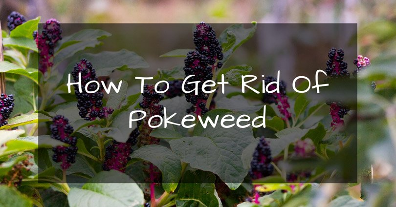 how to get rid of pokeweed