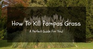 How To Kill Pampas Grass: A Perfect Guide For You!