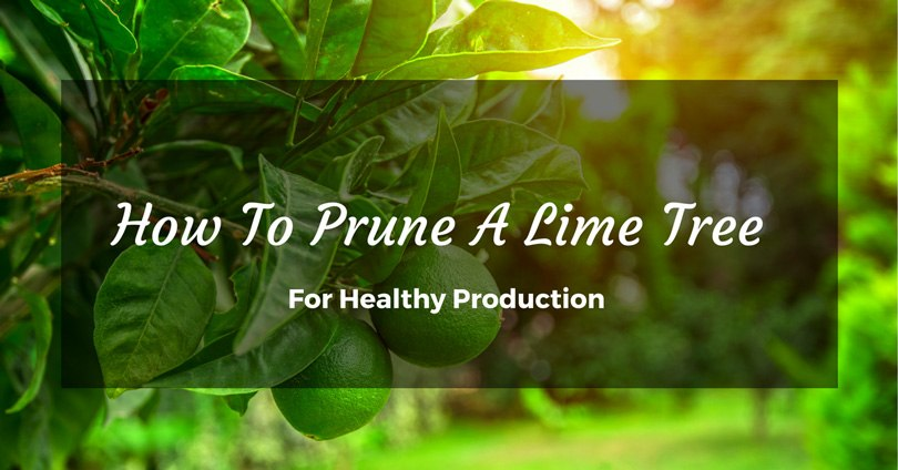 how-to-prune-a-lime-tree