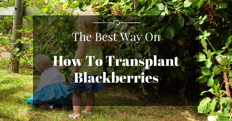 how-to-transplant-blackberries