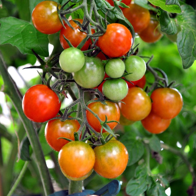 what-causes-tomatoes-to-split-3