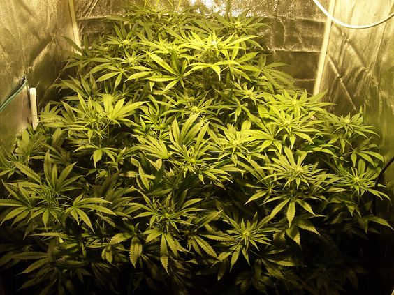 Choosing-the-Right-Size-Grow-Tent