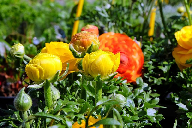 how-to-plant-ranunculus-right-way
