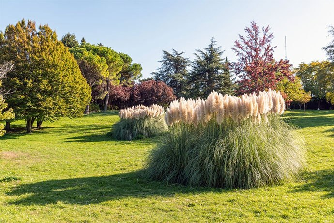 how to kill pampas grass organically
