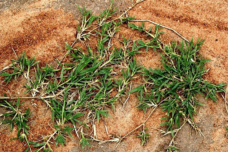 how to get rid of zoysia grass in flower beds