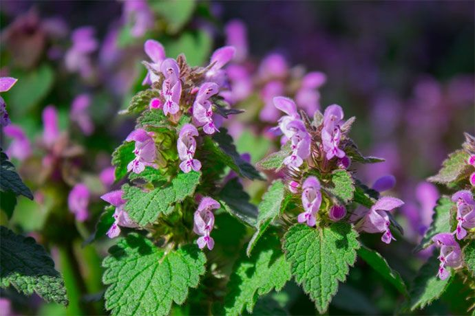 how to get rid of henbit organically