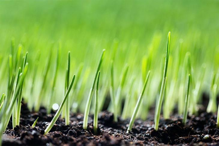 how long for grass seed to germinate fescue